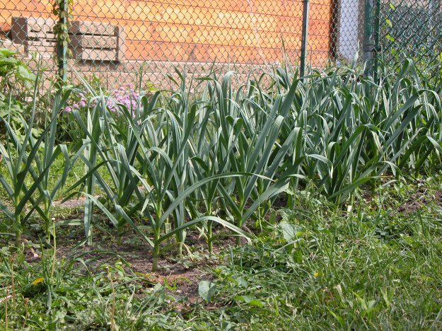 bed of garlic urban farming