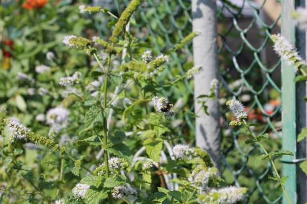 spearmint and bee, city chickens urban agriculture